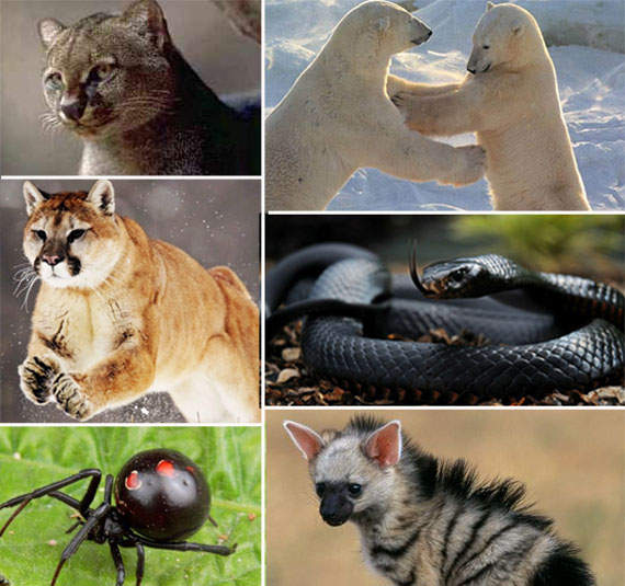 Clockwise from top: A jaguarundi, polar bears, a black mamba, an aardwolf, a black widow and a mountain lion