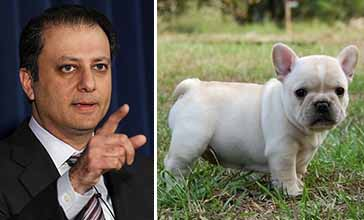 Preet Bharara and a French bulldog