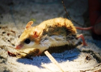 The endangered Cochtawhatchee beach mouse