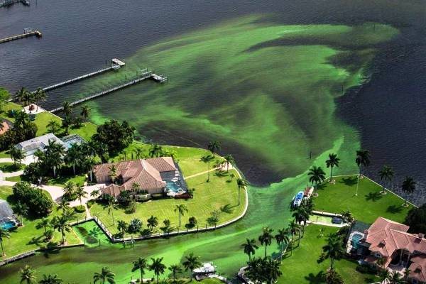 Algae spreading in the St. Lucie River (Source: Miami Herald)