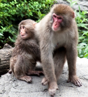 "Makaque monkeys, also known as ""snow monkeys"""